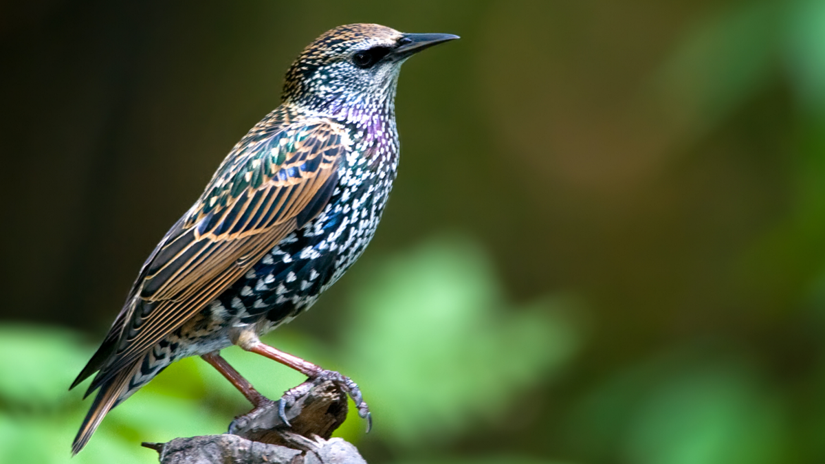 Ever wonder how European starlings came to the U.S.? Blame Shakespeare