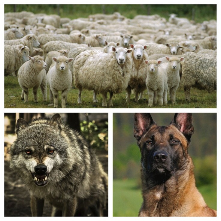 Sheep sheepdog wolves essay