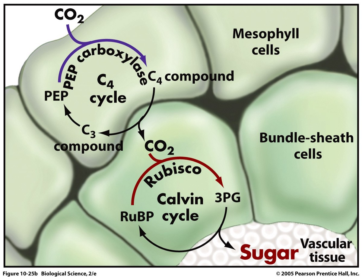Plant Life In c4 photosynthesis carbon fixation takes place in the