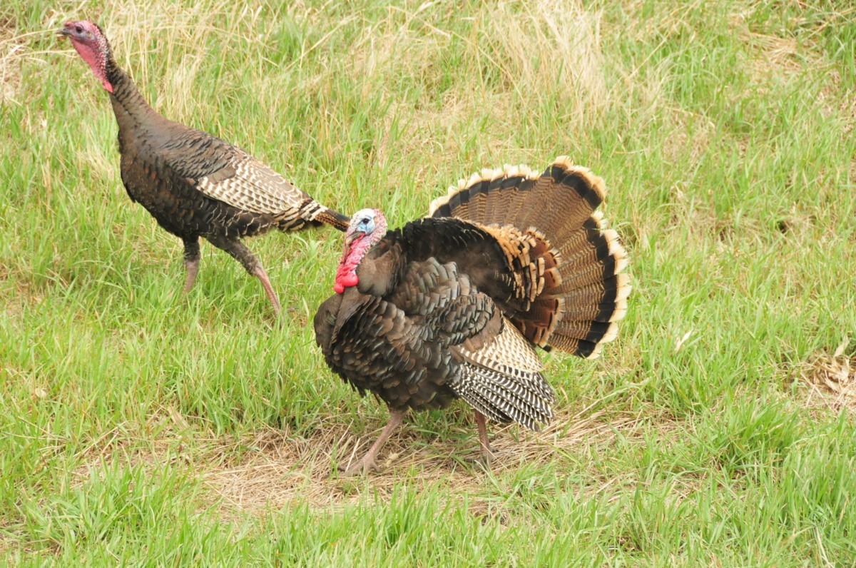 medium.com - Wild Facts About That Thanksgiving Bird - Fish and Wildlife Service News