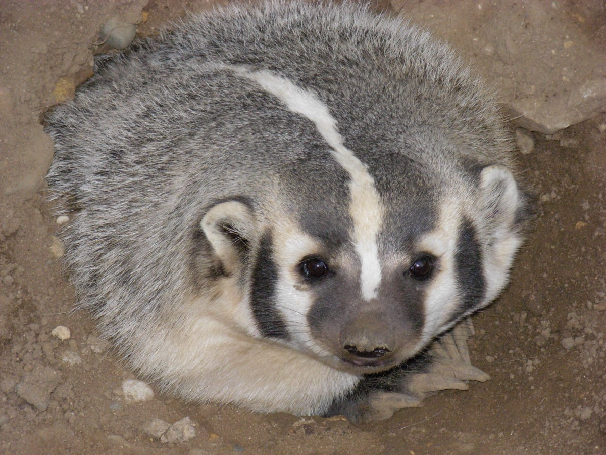 5b3df67e An adult female (sow) American badger, picture by Jonathunder. Newt  Scamander is the hero Hufflepuffs ...