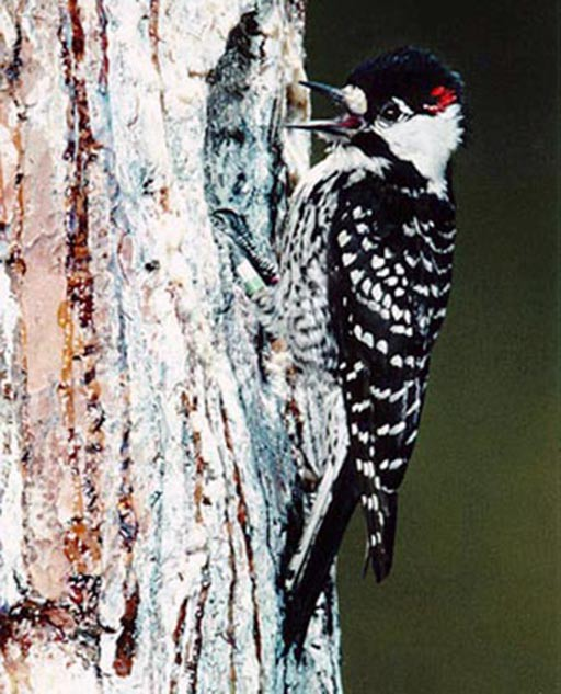 Red-Cockaded Woodpecker Birth an Endangered Species Act Success