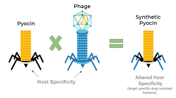Union of Pyocin & Phage to produce a synthetic altered host specificity