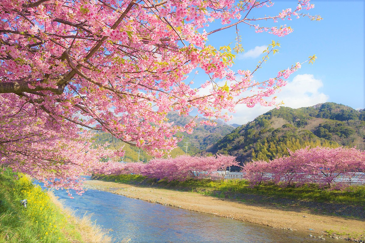 Don T Miss The First Blooming Cherry Blossoms In An Kawazu City Izu Peninsula Will Be Full Bloom February