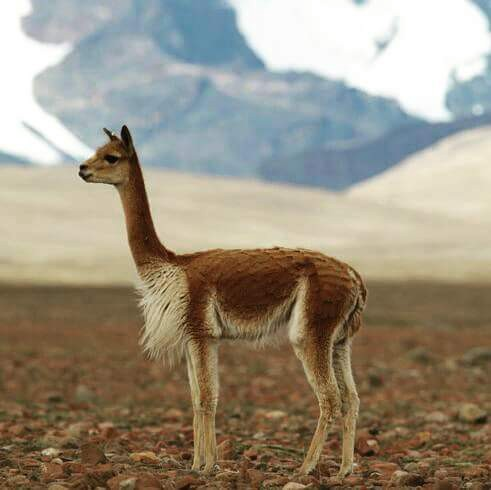 Image result for vicuna loro piana