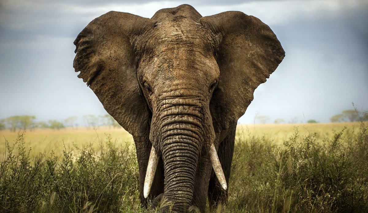 An elephant is killed every 15 minutes; an average of 96 per day. USAID is committed to stopping environmental crime and protecting the wildlife and human communities that depend on them. / Lara Zanarini, Shutterstock