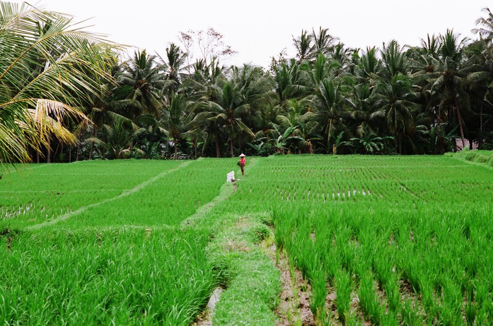Rice fields & palm trees
