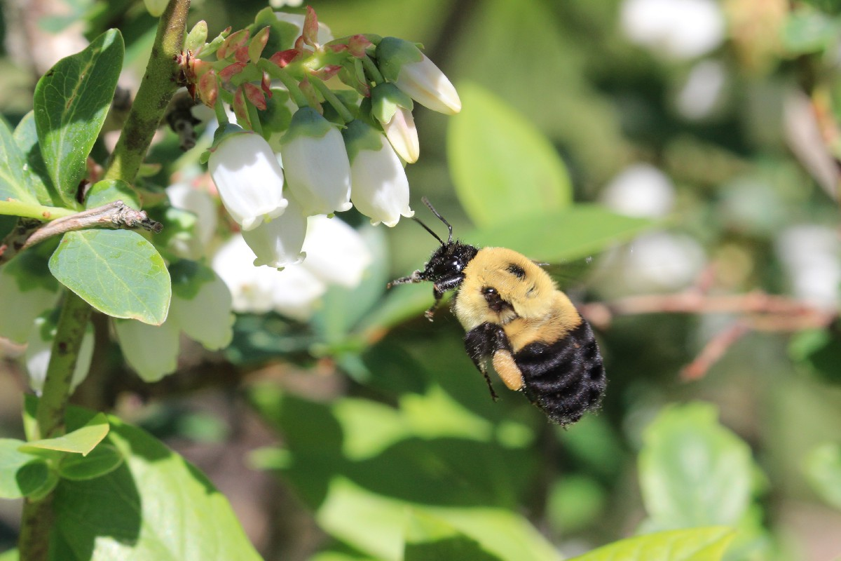 Pollinator Biodiversity: What's all the buzz about?