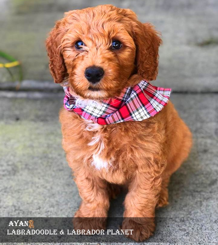 Australian Labradoodle is Available in This Dog Shop at The Pocket-Friendly Price