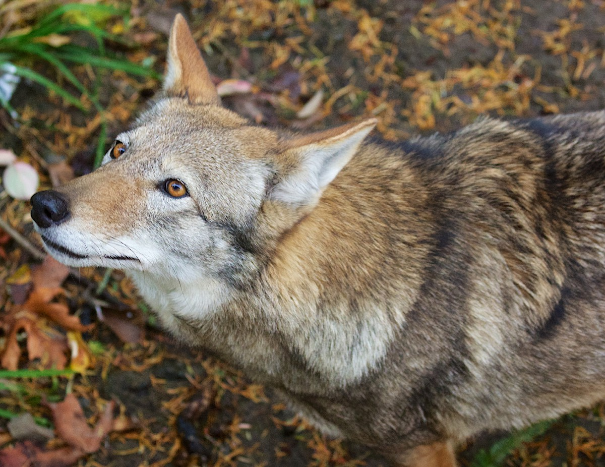 Red wolves need protection, not an extinction plan – Center for Biological Diversity – Medium