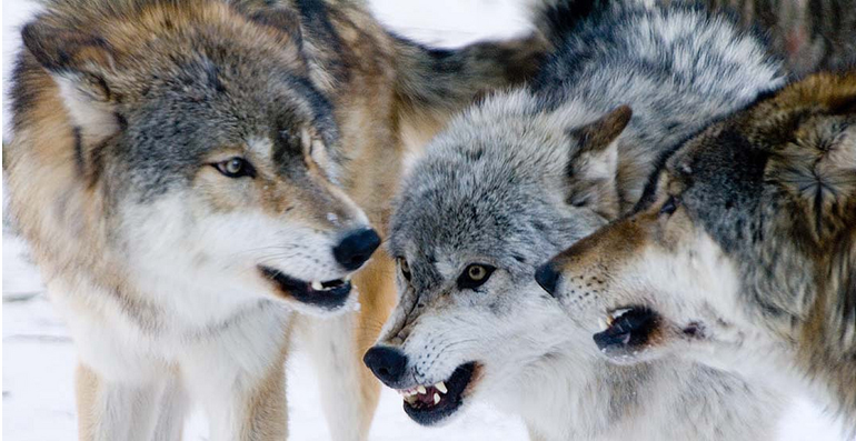 wolf country the pack body postures and social structure - 770×397