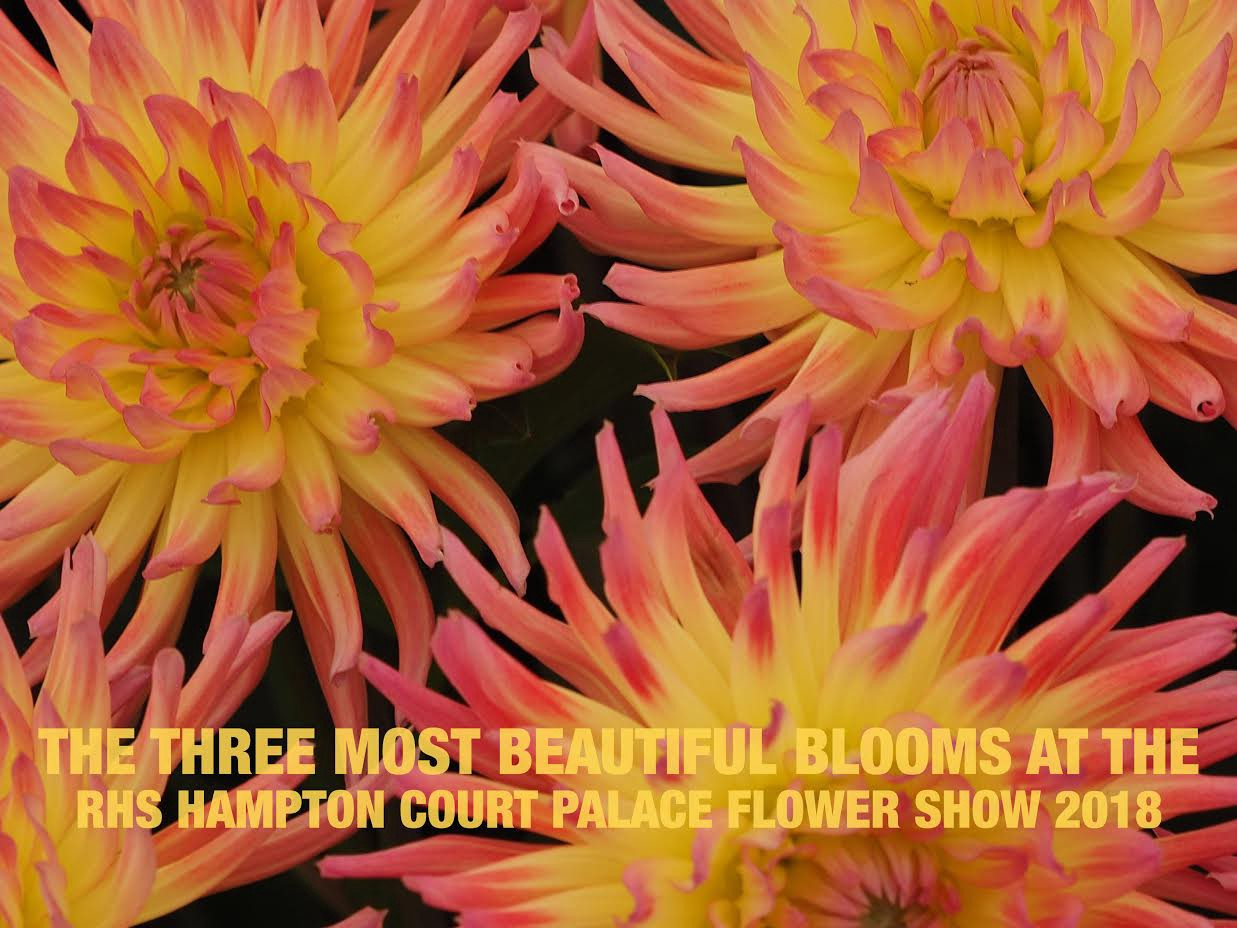 Shot the three most beautiful blooms at the 2018 rhs hampton court the three most beautiful blooms at the 2018 rhs hampton court palace flower show izmirmasajfo