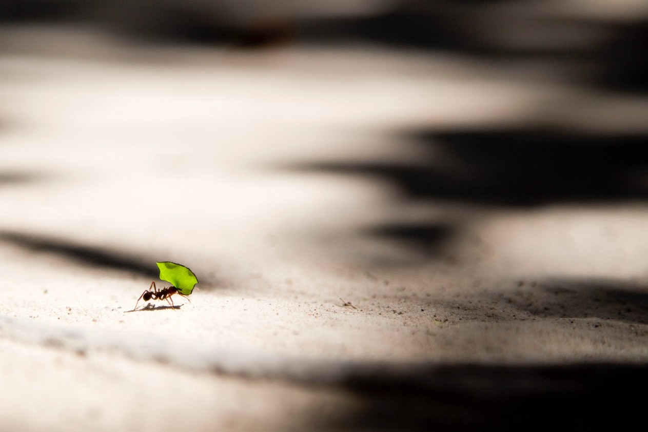 Photo of a small ant carrying a green leaf across the ground.