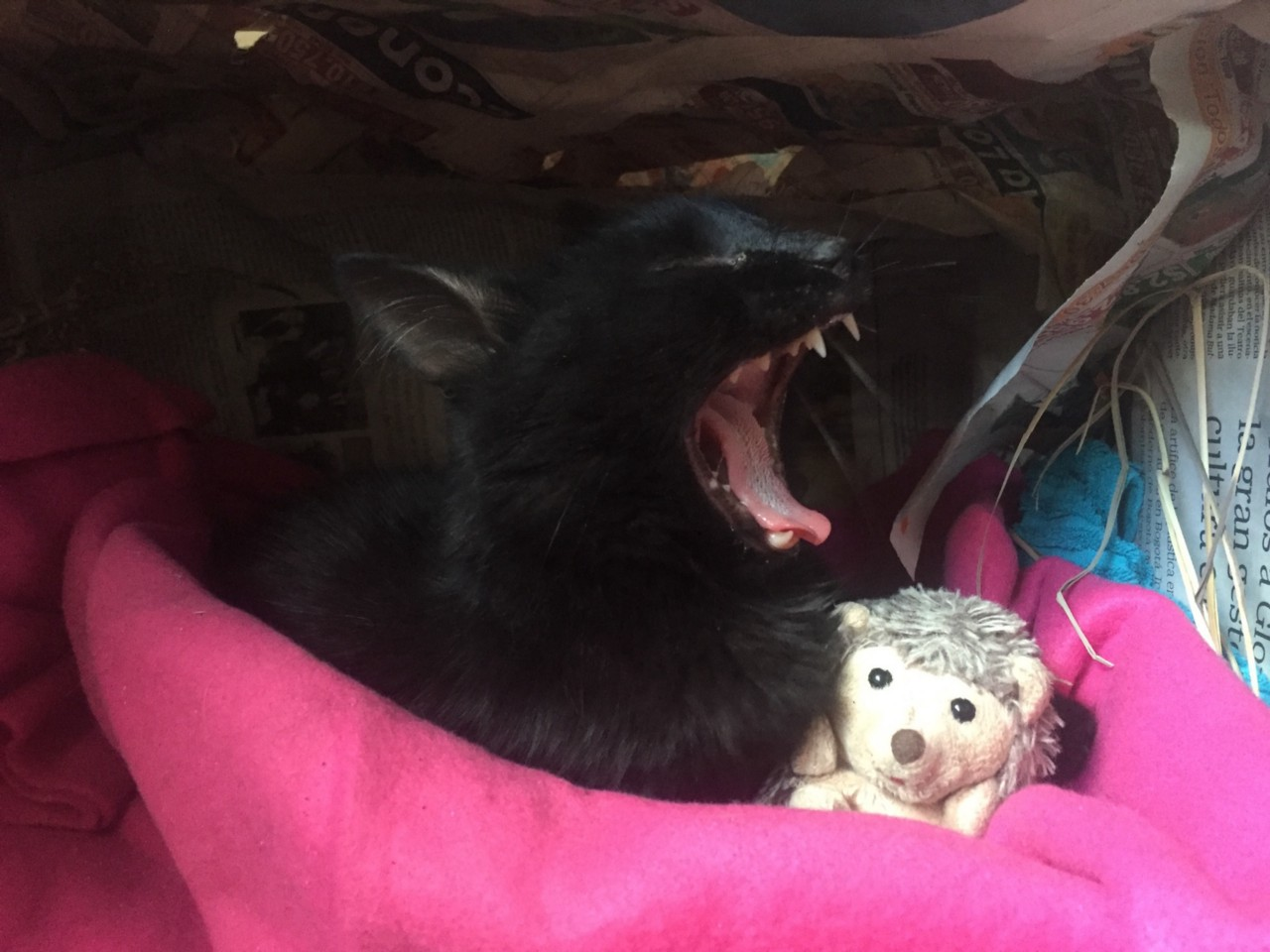black cat yawning with cuddly toy