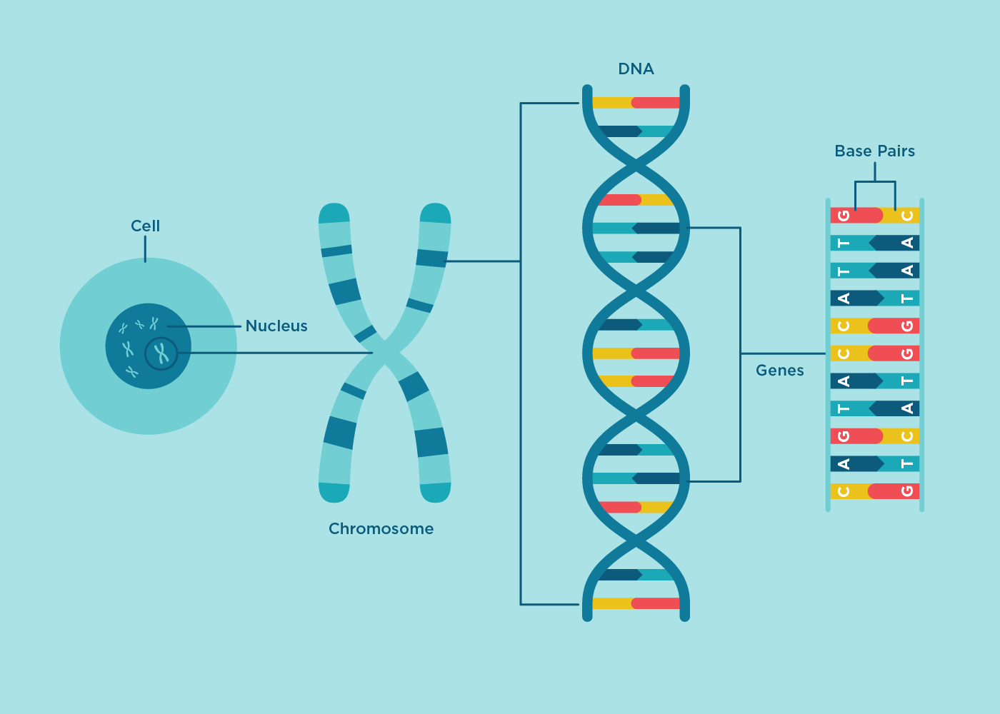Color Diagram Of Dna - Electrical Work Wiring Diagram •
