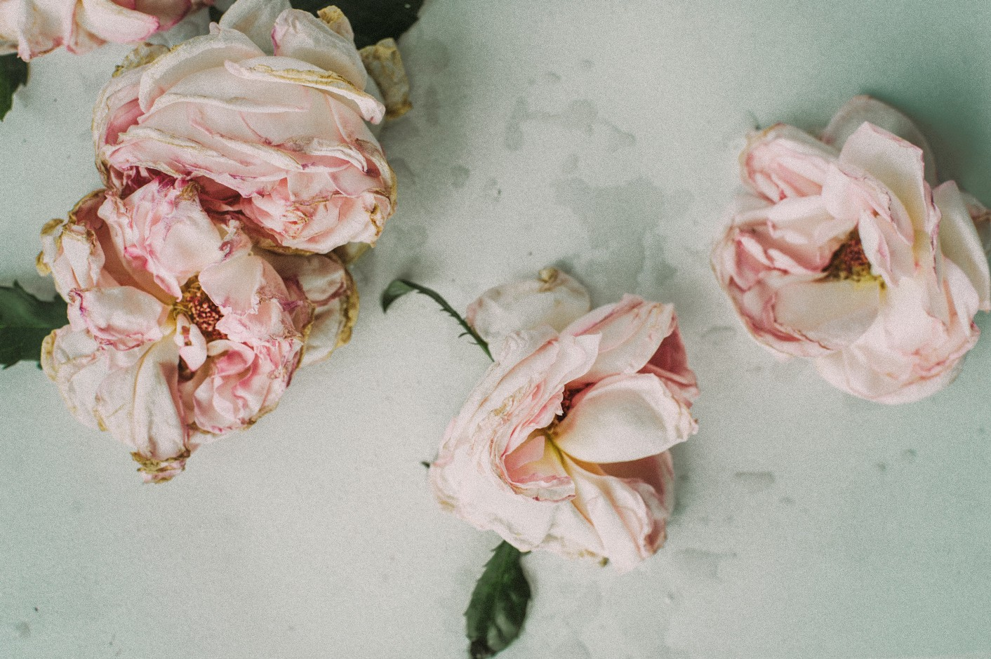 An image of three pink roses on a white floor.