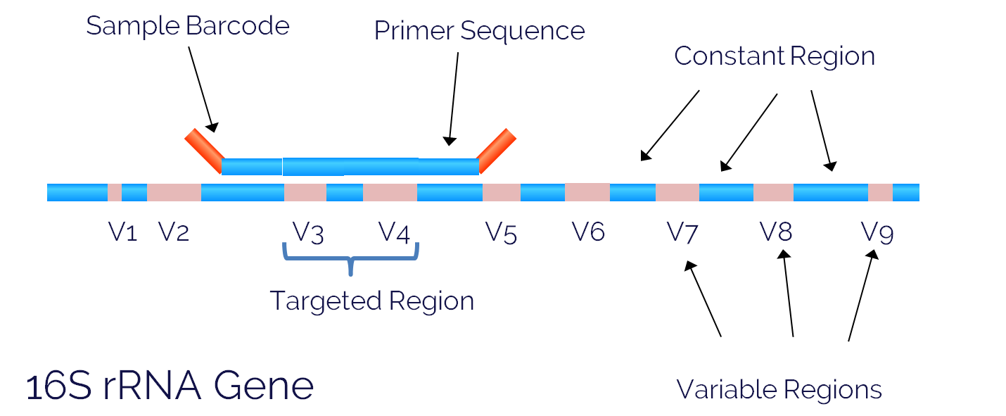 Handbook Of 16s Rdna Sequencing The Past And Present One Nine Sequencer Figure 1 Rrna Gene Sequence