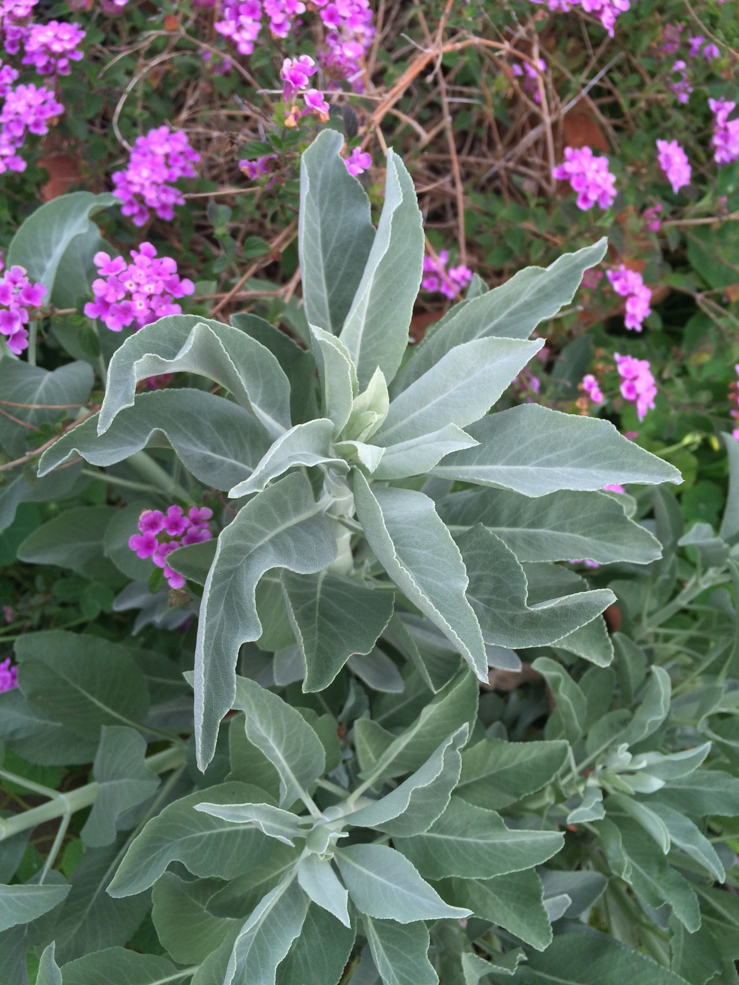 Darcey Blue Mother Queen Of The Desert White Sage