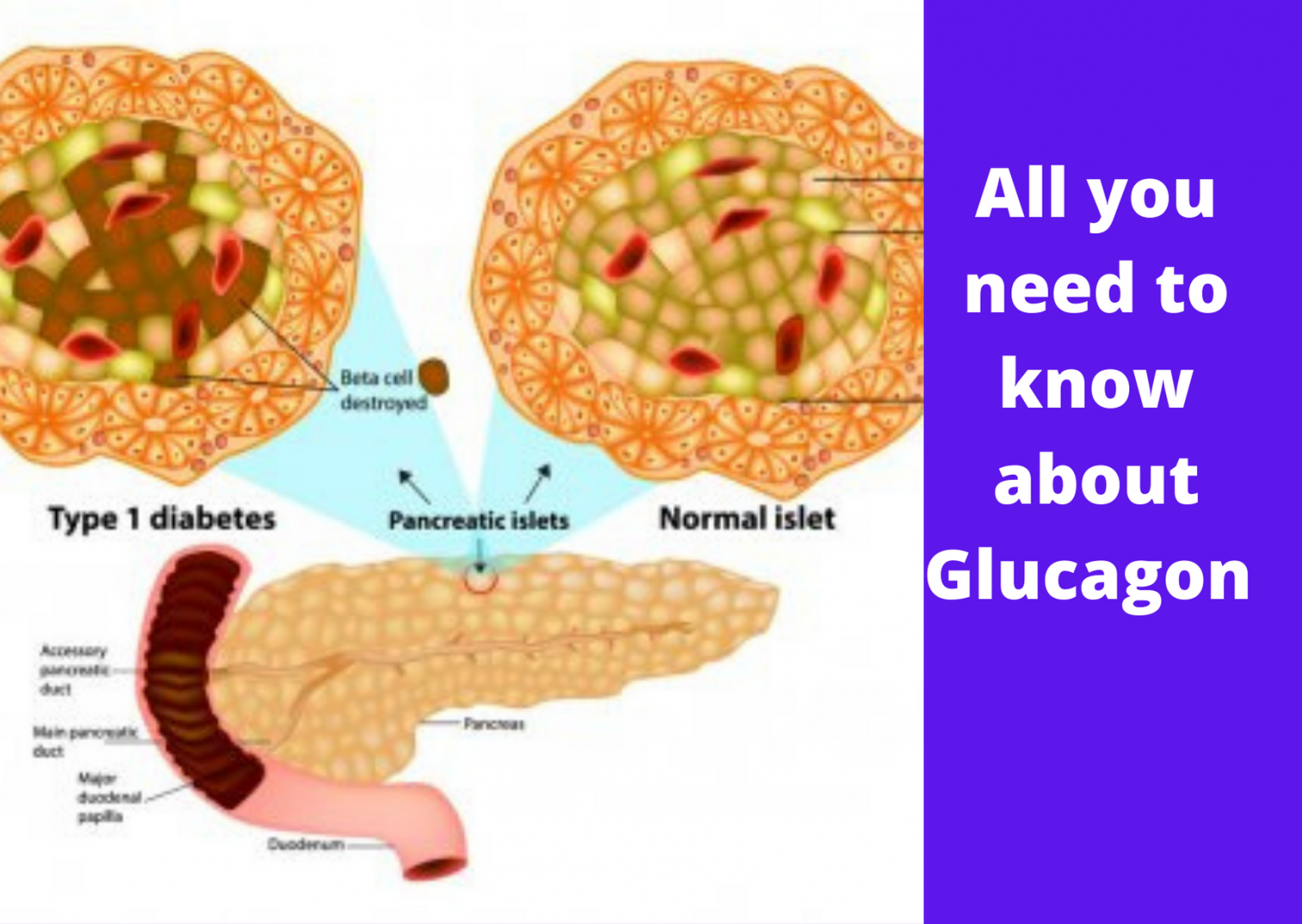 All you need to know about Glucagon