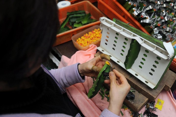 """A worker grafting together the two parts of a moon cactus at a factory in South Korea's Gyeonggi Province, where Lee conducted interviews as part of """"Ornamental Cactus Design."""" (Photo by Soyo Lee)"""