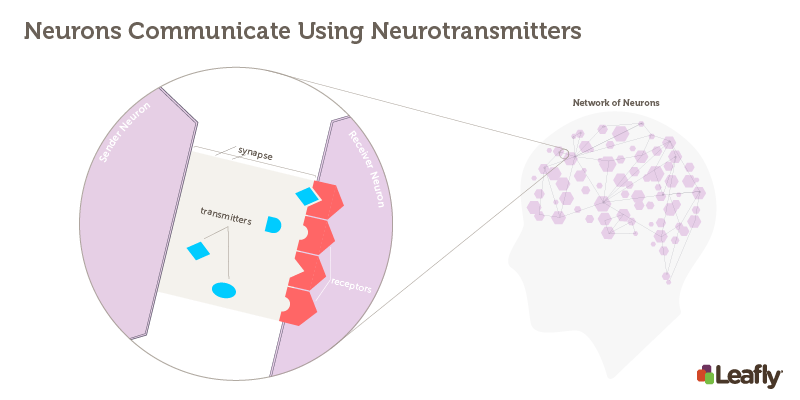 """Figure 1 — Neurons Communicate Using Neurotransmitters Right: The brain contains a huge a number of brain cells (neurons). Each neuron, represented here as a hexagon, is connected to many others. Left: The synapse is the site where two neurons communicate each other. The """"sender neuron"""" releases chemical signals called neurotransmitters, which stimulate receptors on the """"receiver neuron."""" There are many different receptor types in the brain, each one sensitive to different neurotransmitters."""