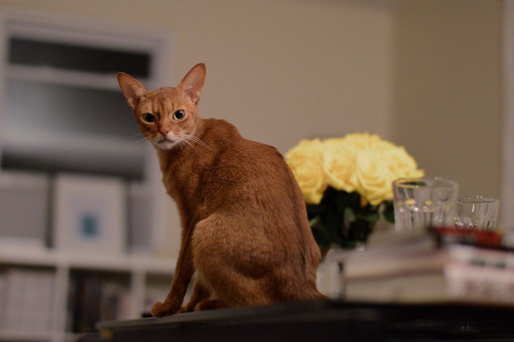Abyssinian Johnny on the glass table with his yellow roses