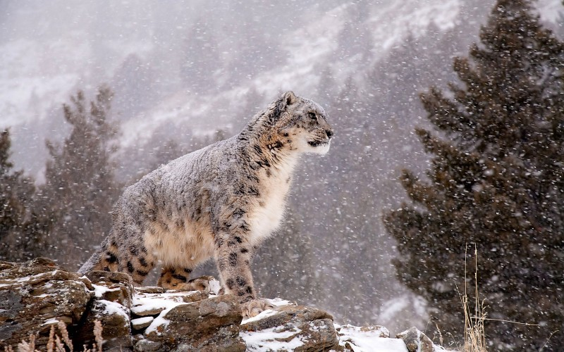 Snow Leopard standing in the snow