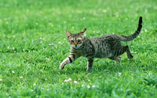 Egyptian Mau Cat Walking on Grass