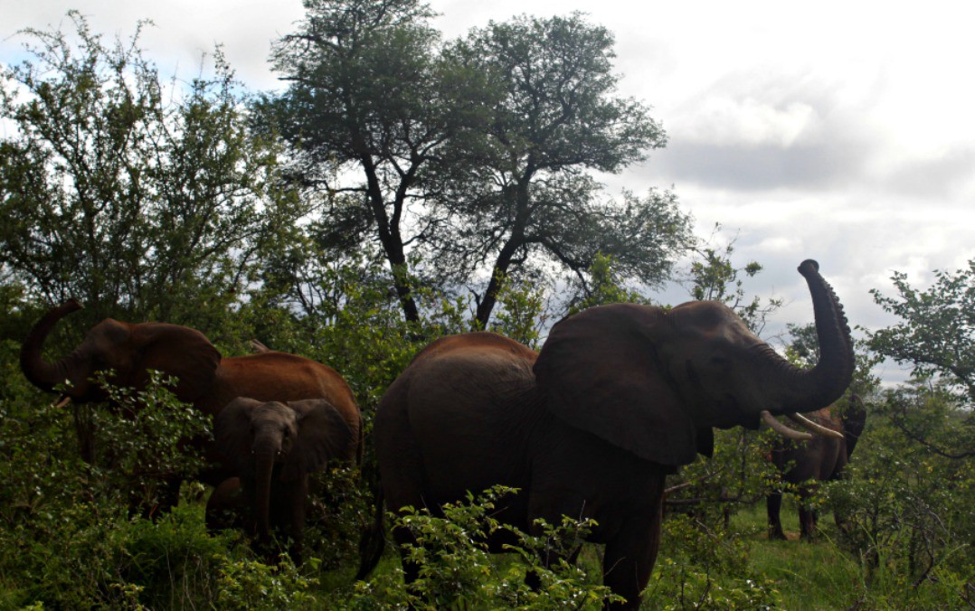 african elephant herd sniffing the air for danger