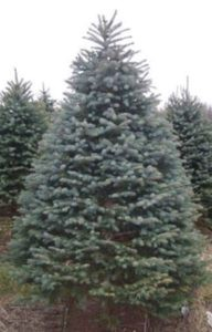 Blue Spruce (Picea pungens)