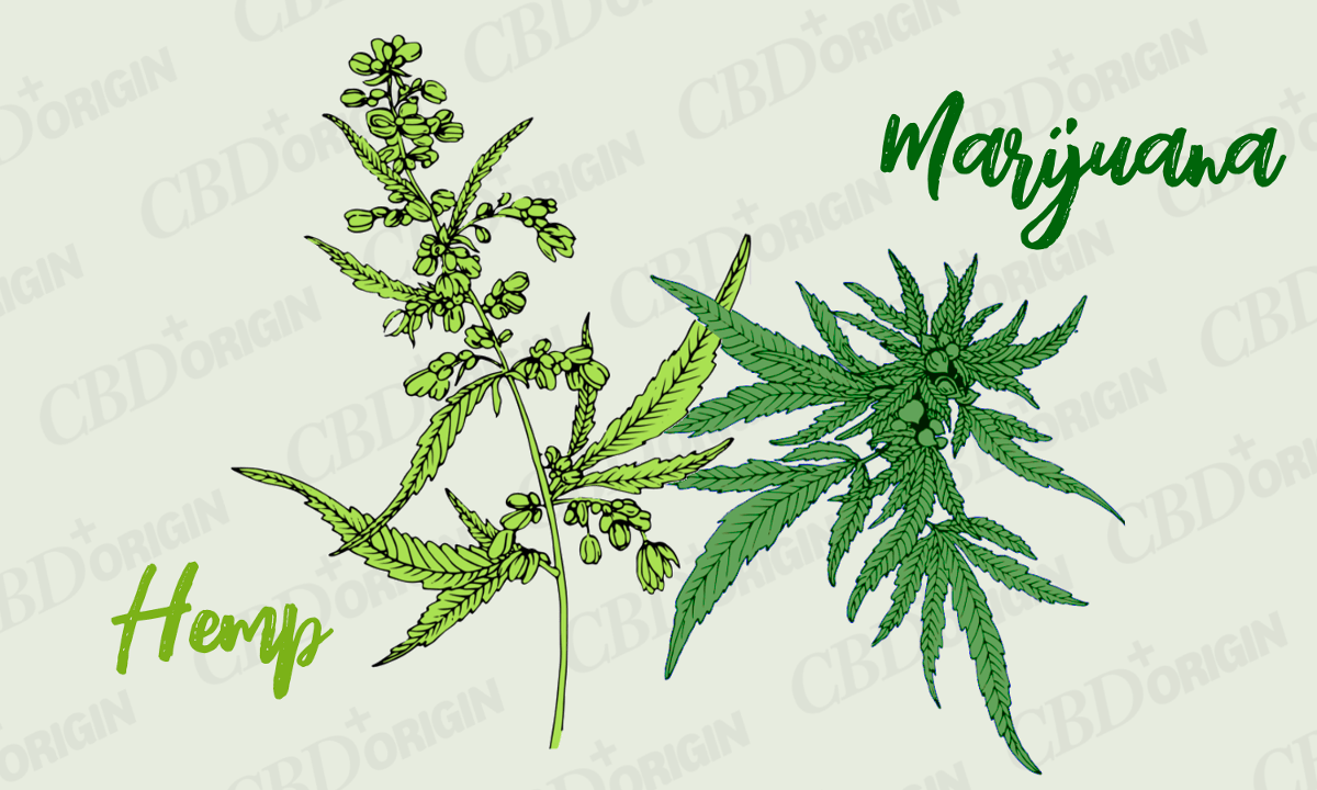Hemp vs Marijuana: The Difference Explained – CBD Origin – Medium