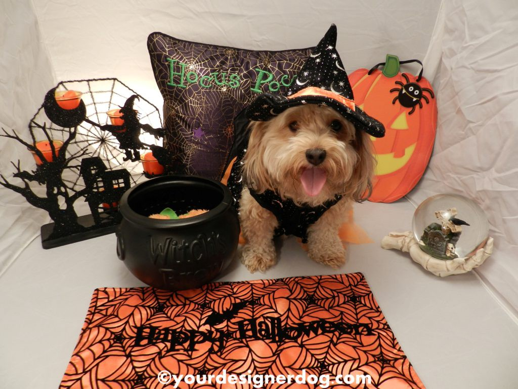 dogs, designer dogs, Yorkipoo, yorkie poo, halloween, witch