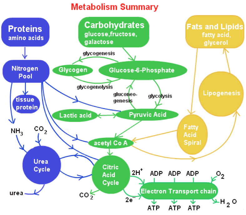 anabolic and catabolic pathways quizlet