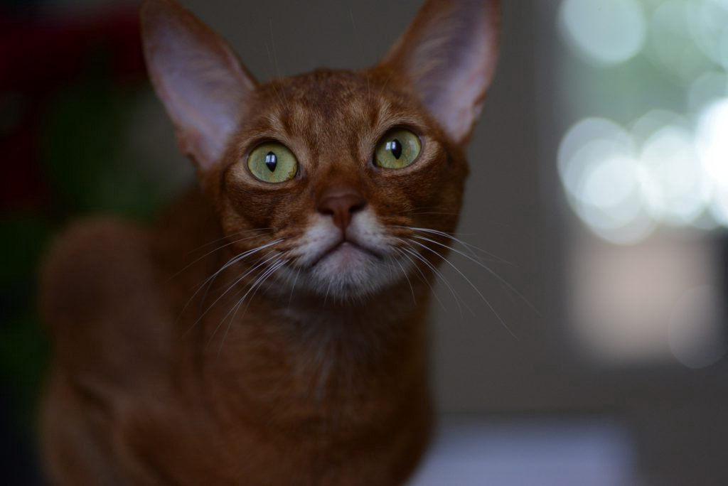 Cat Magic, Abyssinian Johnny face with light bubbles