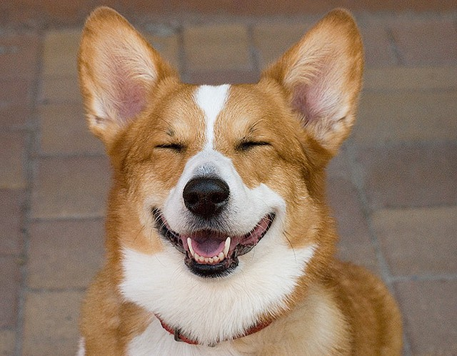 Finally When A Dog Shows That He Or She Loves Their Humans They Tend To Smile When A Dogs Mouth Is Open And Relaxed They Are Calm And Happy