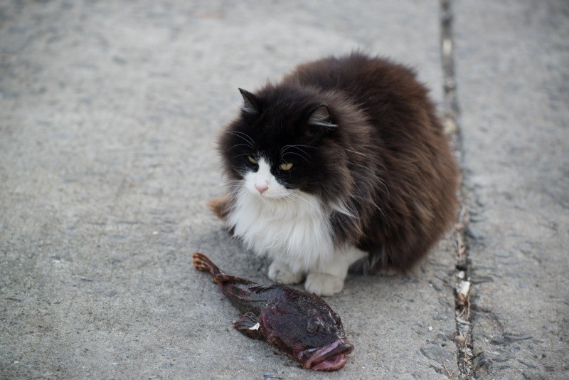 A cat and a blowfish