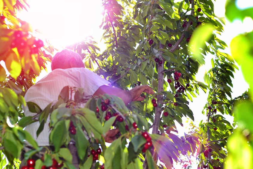 Cherry picking is a popular activity for visitors in Brentwood, CA.