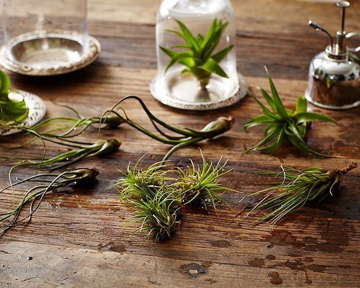 air plants tillandsias watered