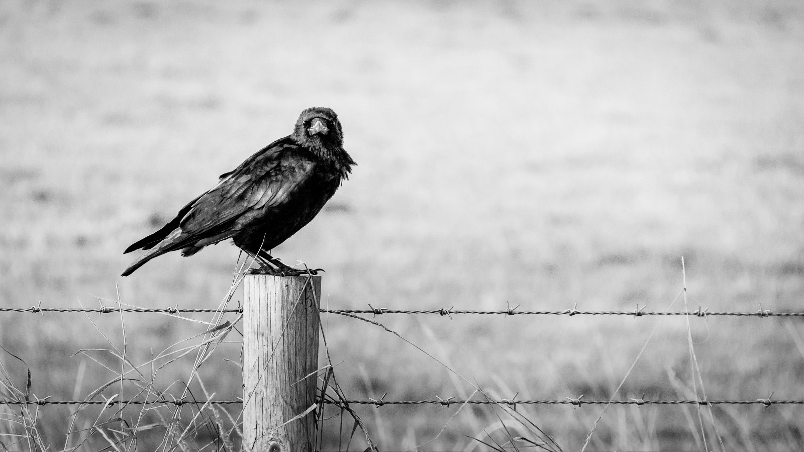 A raven on a fence post. This is the base image for the publication Project: Raven Novel by Jim Latham.