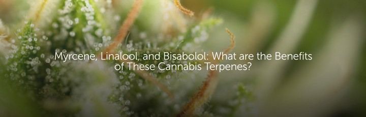Myrcene, Linalool, Bisabolol: What are the Benefits of These Cannabis Terpenes?