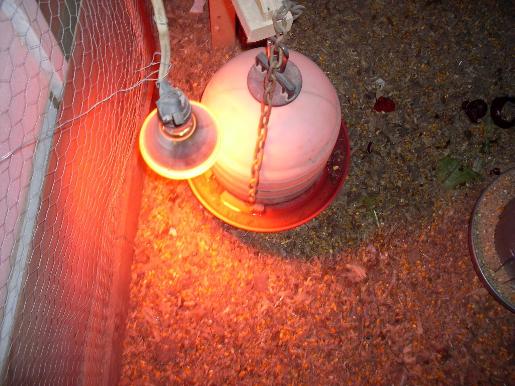 chickens poultry agriculture for preparation panhandle phag housing proper lamp house cred doug source water feeder and winter heat photo flocks brooder