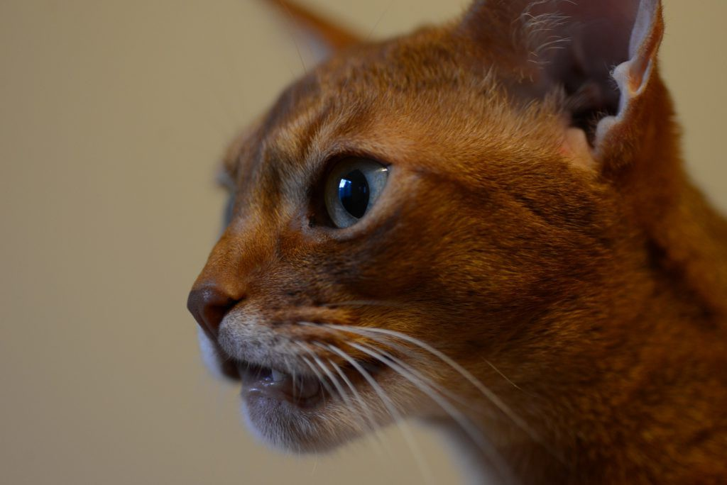 Abyssinian Johnny staring at something with mouth half-opened