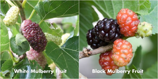 Mulberries Fruit Pictures
