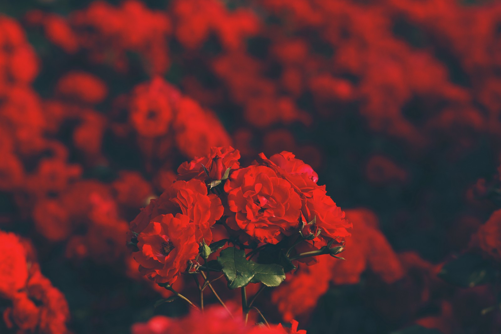 U201cA Breathtaking View Of Dozens Of Red Roses In Bloomu201d By Alina Sofia On  Unsplash