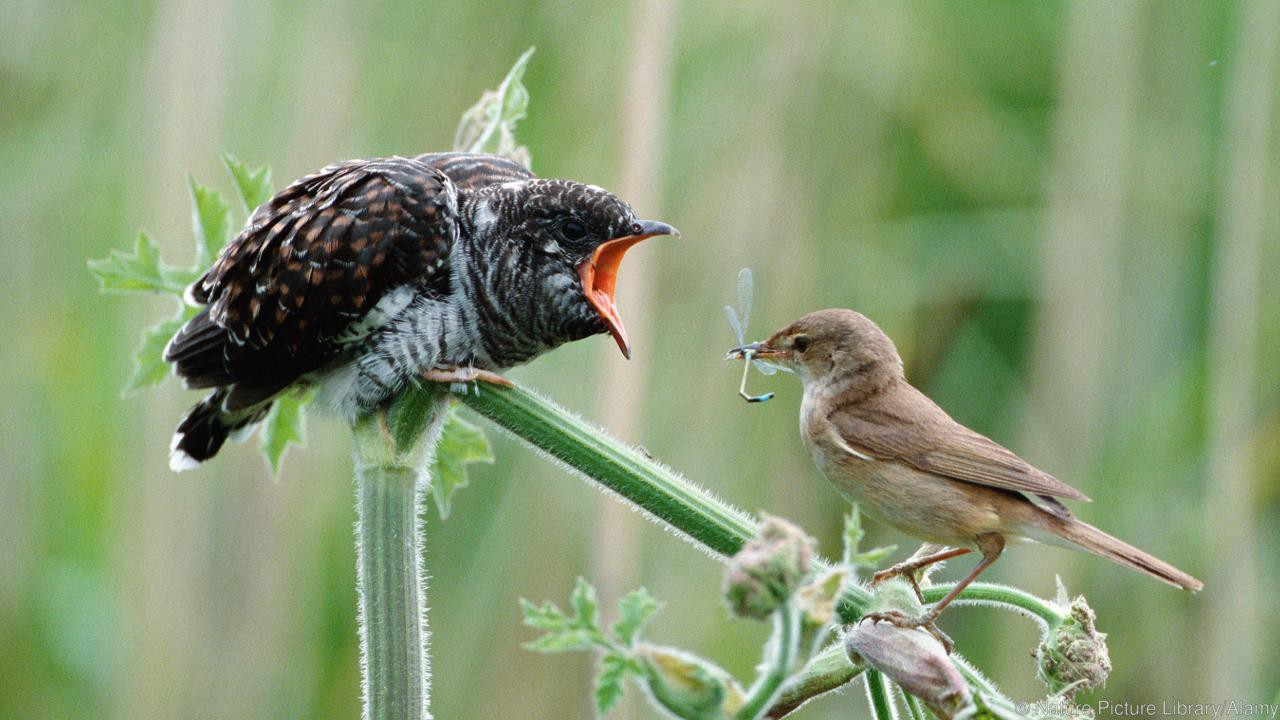 cuckoo chick and Reed warbler mother