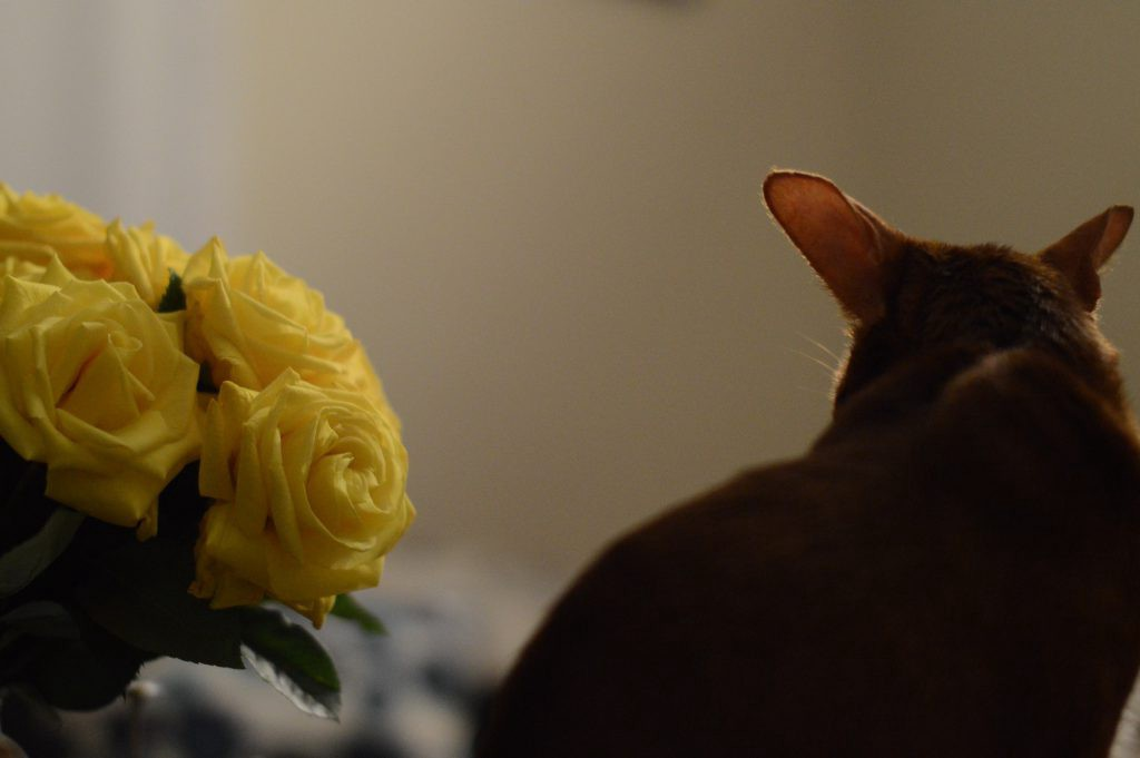 Abyssinian Johnny's back and yellow roses