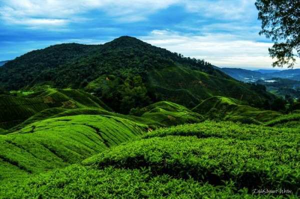 Boh Tea Fields in the Cameron Highlands, Malaysia