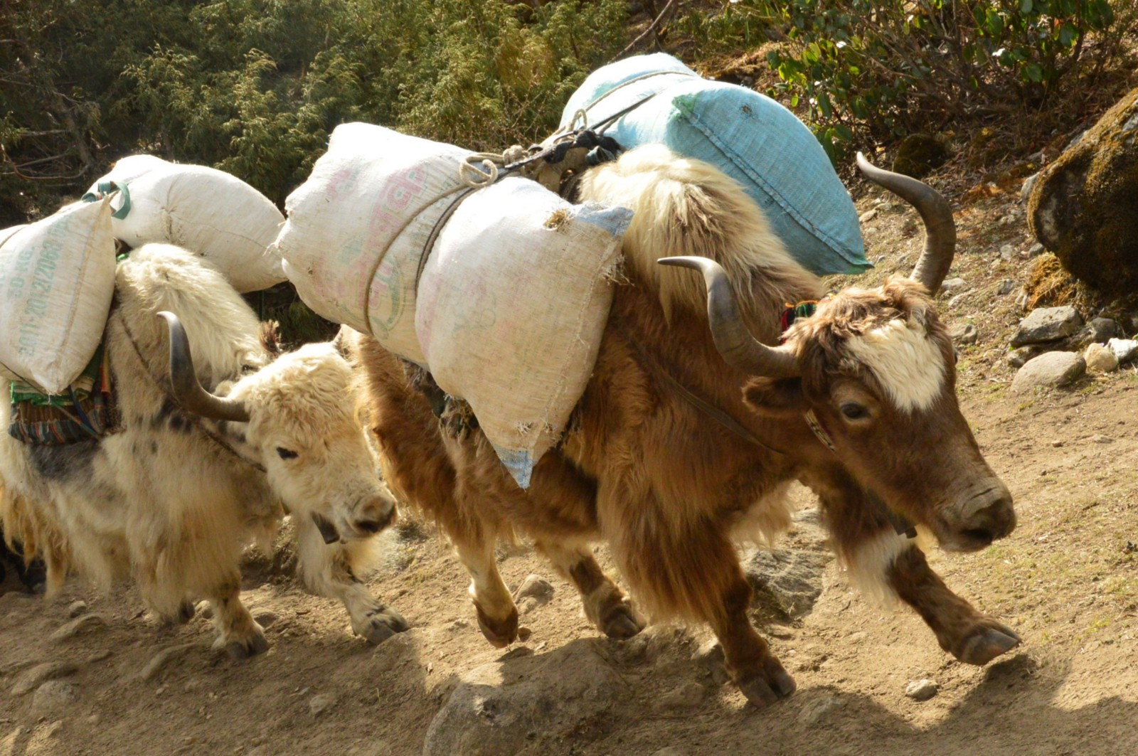 everest base camp trek yaks