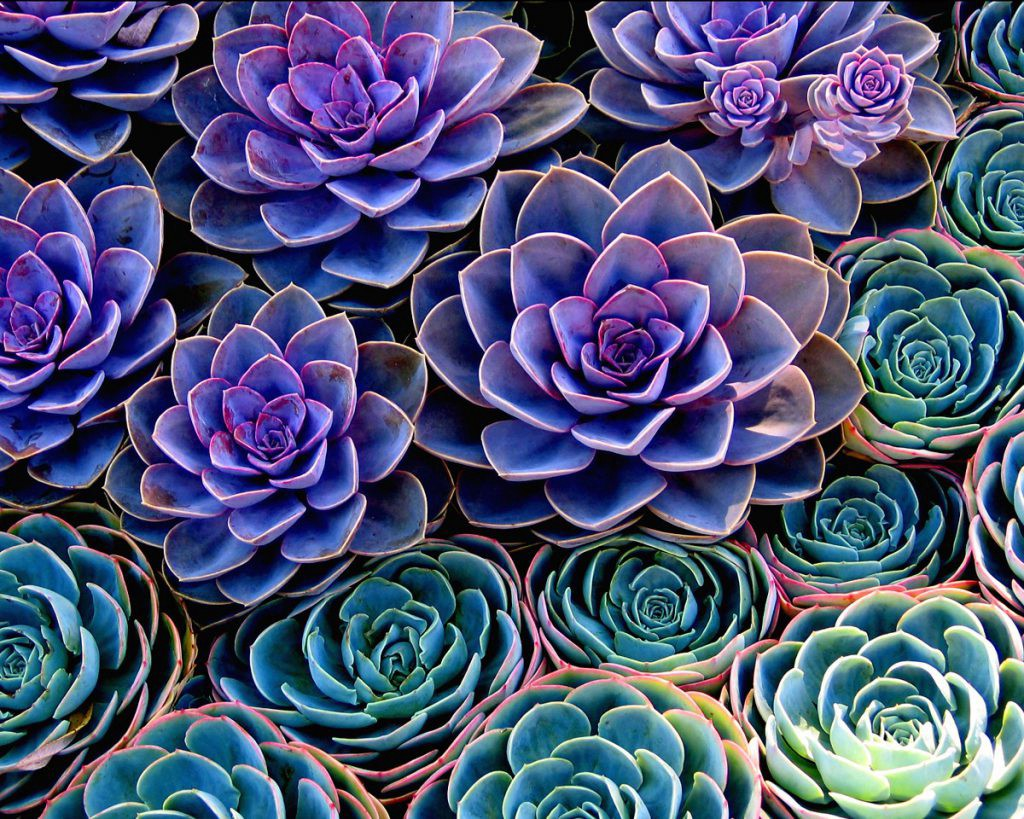 succulents purple and green