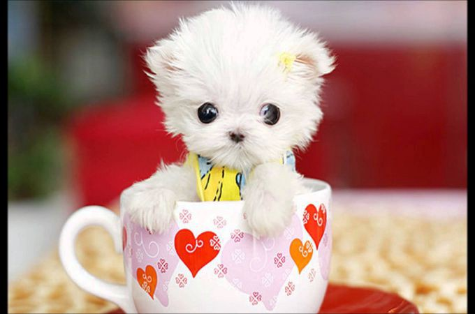 maltese dog small place to live
